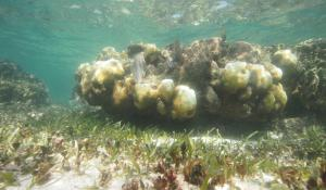 A coral head in the Mesoamerican Reef has both bleached and living coral. The white sections are bleached and the brown parts still contain zooxanthellae, the symbiotic algae that provide food to their coral hosts.