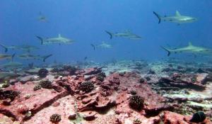 Large numbers of grey reef sharks were observed at Jarvis Island, an uninhabited Pacific island, during the 2010 Pacific RAMP expedition of the NOAA Ship Hi'ialakai.
