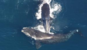 Listen to what happens when researchers in a tiny boat are surrounded by huge North Atlantic Right Whales.