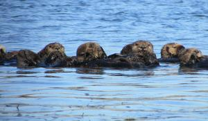Sea otters floating on the surface of the ocean.