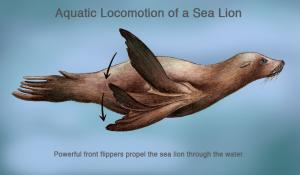 "Sea lions generate thrust, or forward propulsion, by bringing their fore-flippers together in big sweeping motions called ""claps.""  When a sea lion ""claps,"" it stretches its flippers out to the sides and sweeps them down. Then it tucks its flippe"