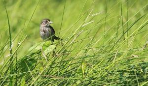 With their brown and yellow markings, seaside sparrows (Ammodramus maritimus) blend in well with marshgrass.