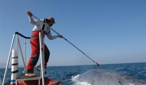 Ari Friedlaender, a research scientist at the Duke University Marine Lab, tags a blue whale.