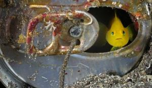 A tiny yellow goby living inside an abandoned can on the seafloor; Suruga Bay, Japan