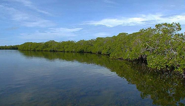 Mangroves on the edge of the water.