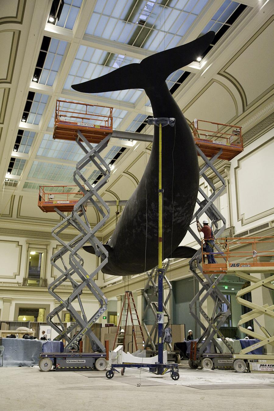A crew works on creating a life-size, meticulously detailed model of the North Atlantic right whale Phoenix
