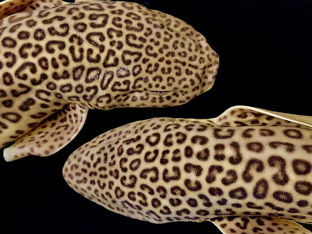 Two Catsharks with a black background