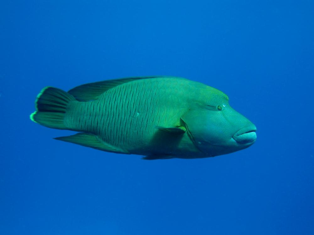 A male humphead wrasse