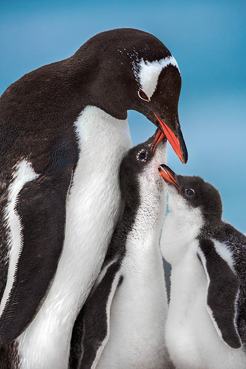 a gentoo penguin with two chicks