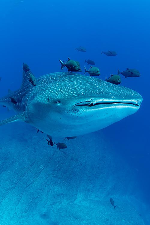 A whale shark swimming with fish