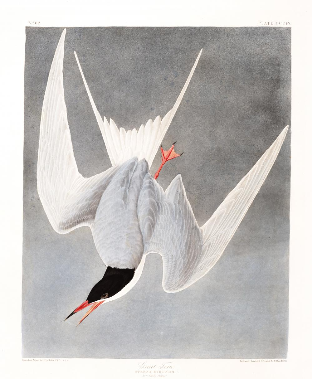 Illustration of the common tern
