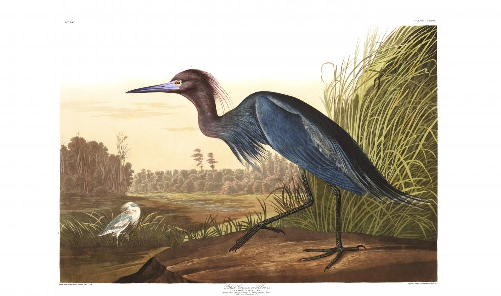 a blue heron illustration