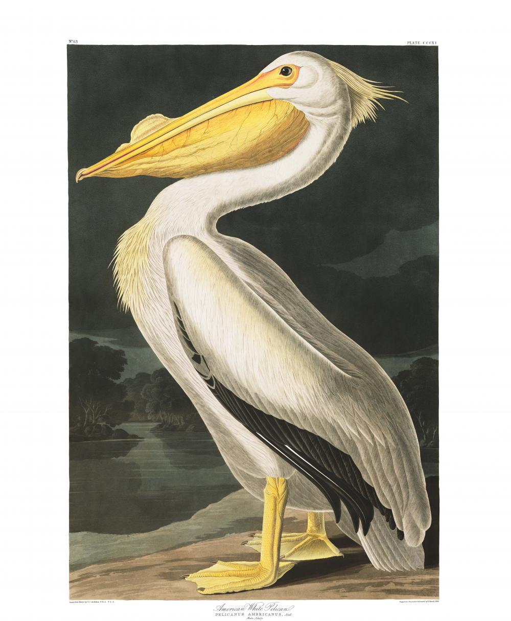 an illustration of a white pelican