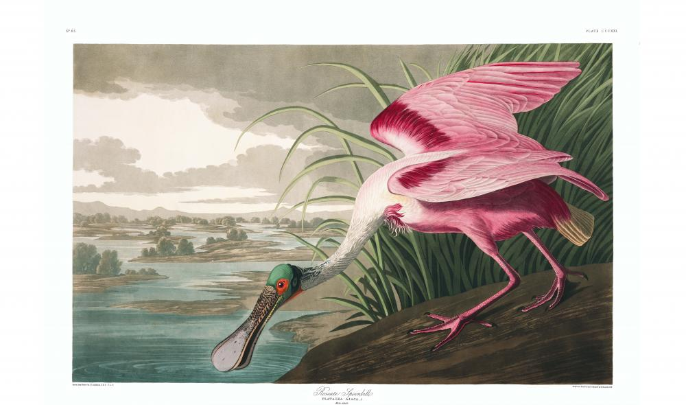 an illustration of a roseate spoonbill