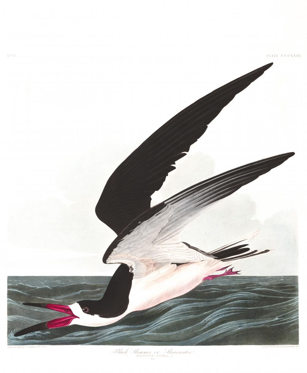 an illustration of a black skimmer