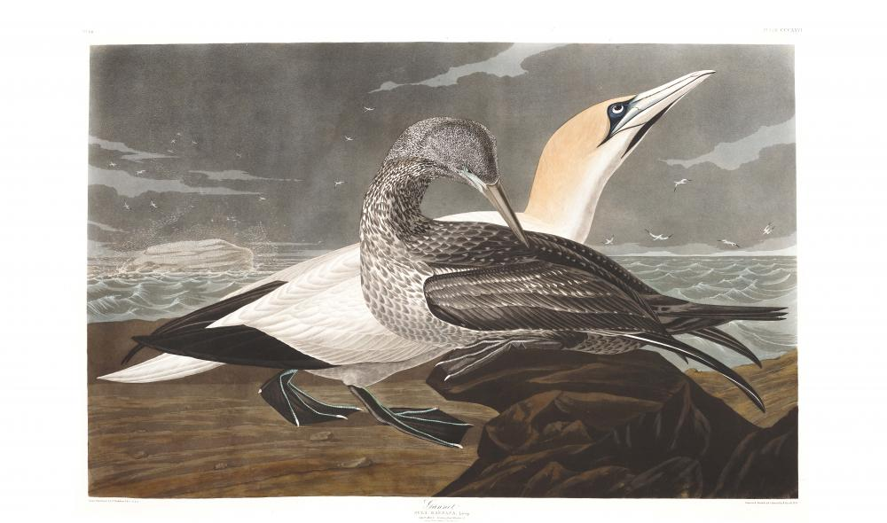 an illustration of two gannets