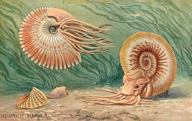 two ammonoids in the water