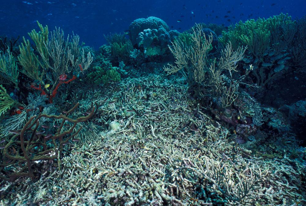 A coral reef covered by silt and sand in the Western Pacific Ocean.