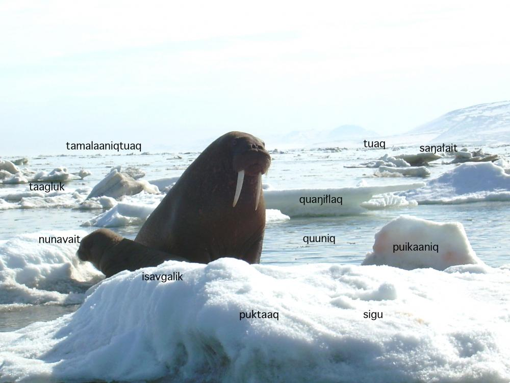 A walrus sits on top of ice.