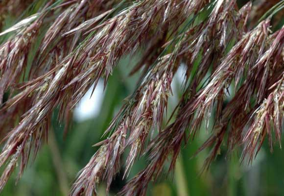 A close-up photo of the seeds on the plant Phragmites australis.