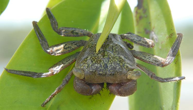 A mangrove tree crab clings to a leaf near a Smithsonian marine laboratory in Panama.