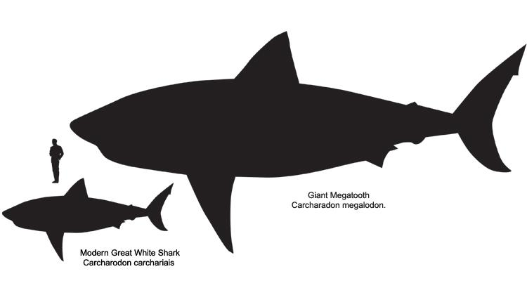 How Big are Great White Sharks? | Smithsonian Ocean