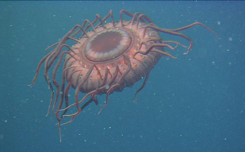 This deep-sea jellyfish was caught on film by an ROV east of Izu-Oshina Island, Japan.