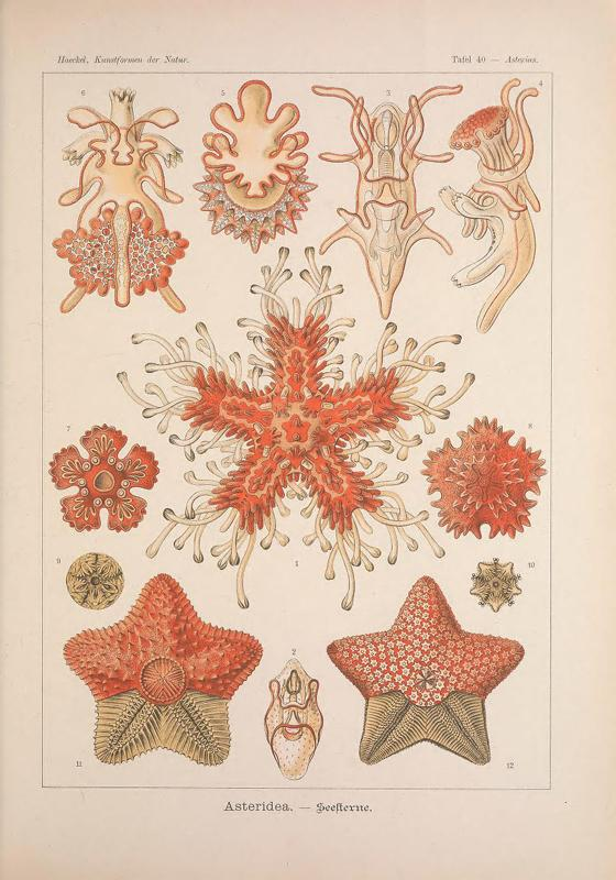 Starfish—marine invertebrates of the phylum Echinodermata—are famous for their ability to shed limbs as a means of defense and then regenerate the sacrificed part.