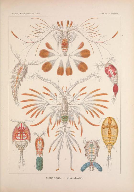 Illustration of copepods from Ernst Haeckel.