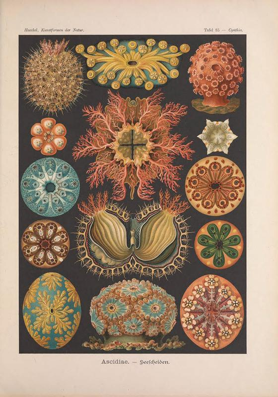 Sea squire illustrations from Ernst Haeckel.