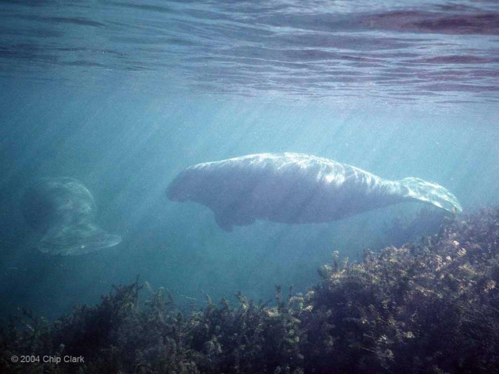 A manatee swimming in shallow waters.