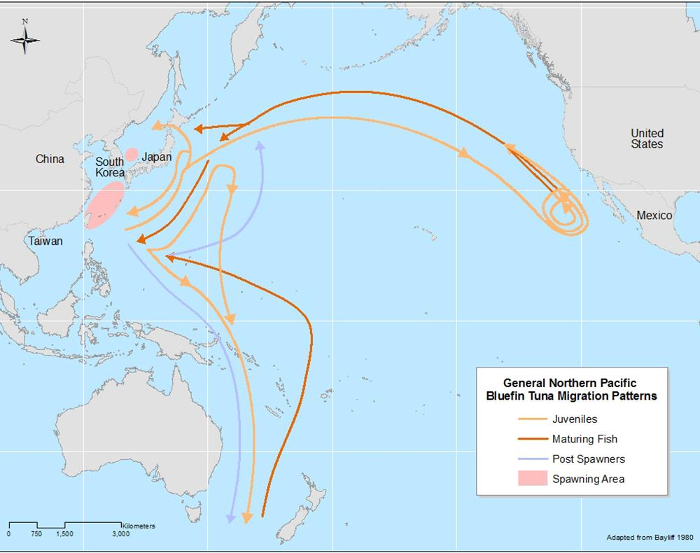 Pacific Bluefin Tuna Migration