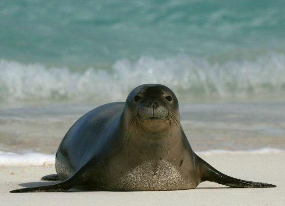 Photo of a Hawaiian monk seal on the beach, with the ocean in the background.