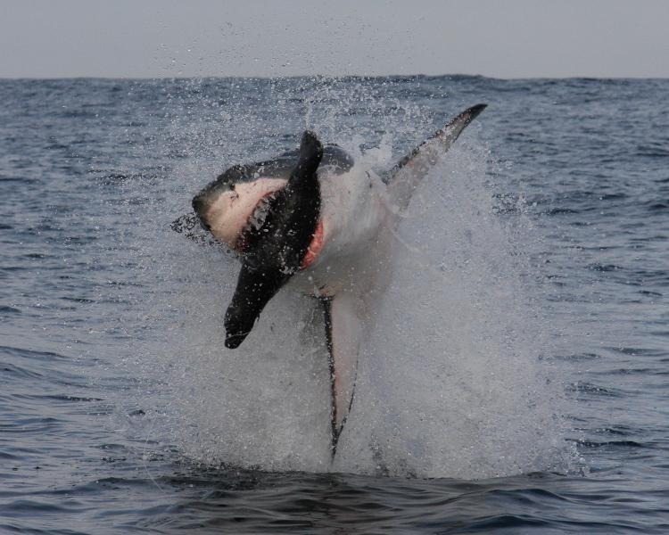 A frame-by-frame view of a Great White Shark breach- frame 1.