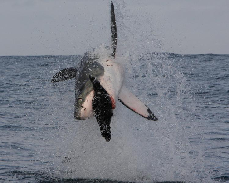 Great White Sharks breach to hunt -- with split-second timing they grab their prey in one swift snatch. Follow the whole breaching action in this slideshow.