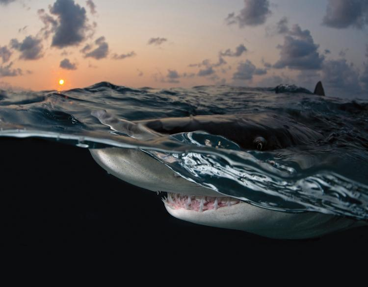 """This particular shark was just as curious as I was, which enabled me to capture such an amazing shot. His eye came just above the surface and stared back at me as if to show me he was watching, while below the surface his mouth opened to reveal his sharp"