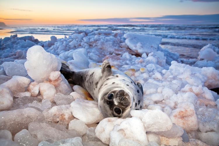 In 2011, storms and lack of ice-cover due to a warmer winter climate resulted in hundreds of seal pups being washed up on the shore of Prince Edward Island. Like many, this young seal faced an uncertain future. See more Nature's Best Photos.