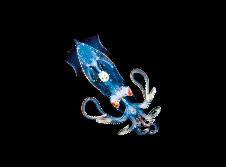 """This image was captured during an evening dive in water where the largest migration on Earth occurs nightly. This miniscule squid was less than an inch long, transparent, and highly reflective, which made proper exposure extremely difficult. Over hundre"