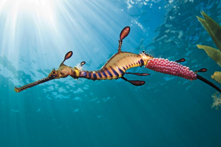 """The male weedy seadragon is entrusted with the pink, fertilized eggs once mating has been completed. It is his task to incubate them until their hatching, approximately eight weeks later. The day this photo was taken, the weather and conditions were unu"