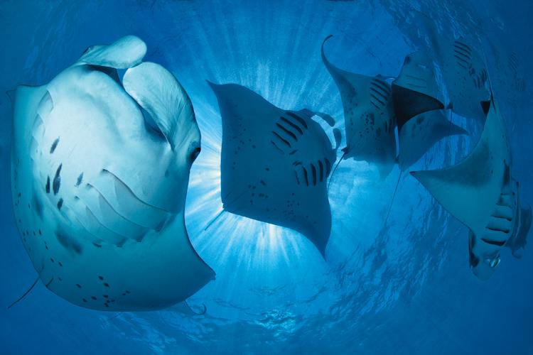 """Once in a while, manta rays appear in great numbers in a small bay in the Baa Atoll. The concentration of plankton must be very high in this particular bay, because up to 200 manta rays have been seen here at one time. It can be difficult to capture a n"