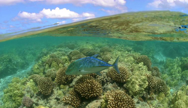 A bluefin trevally swims in Hawaii's Maro Coral Reef, part of the Papahānaumokuākea Marine National Monument.