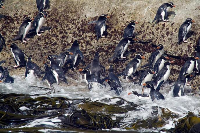 The New Zealand Sub-Antarctic Islands site was inscribed on the World Heritage List in 1998. The islands are particularly notable for the abundance and diversity of nesting pelagic seabirds and penguins (including macaroni penguins, Eudyptes chrysolophus,
