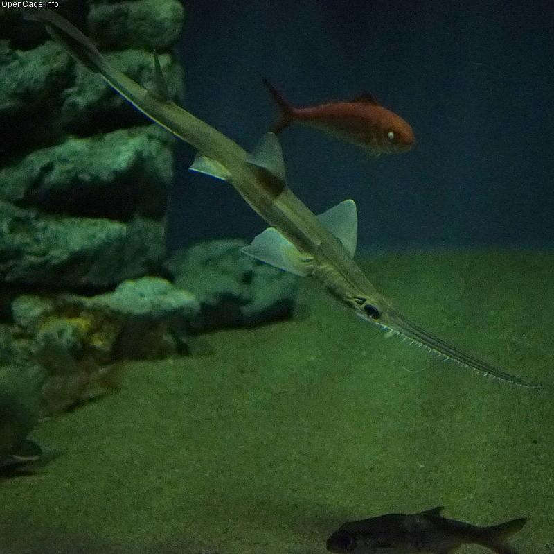 "How well could you eat with a saw on your face? If you were a sawshark, you couldn't eat without one! Sawsharks are named for their long snouts, which have sharp teeth protruding from either side. They attack their prey by slashing these ""saws"" from"
