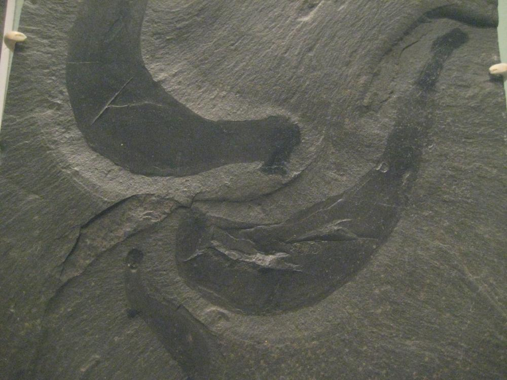 A fossil imprint of Ottoia prolifica.