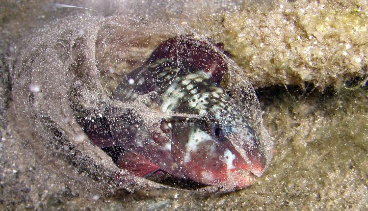 A parrotfish creates a mucus cocoon to protect it from parasites while sleeping.