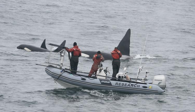 Three Killer whales (Orca) swim along side researchers.