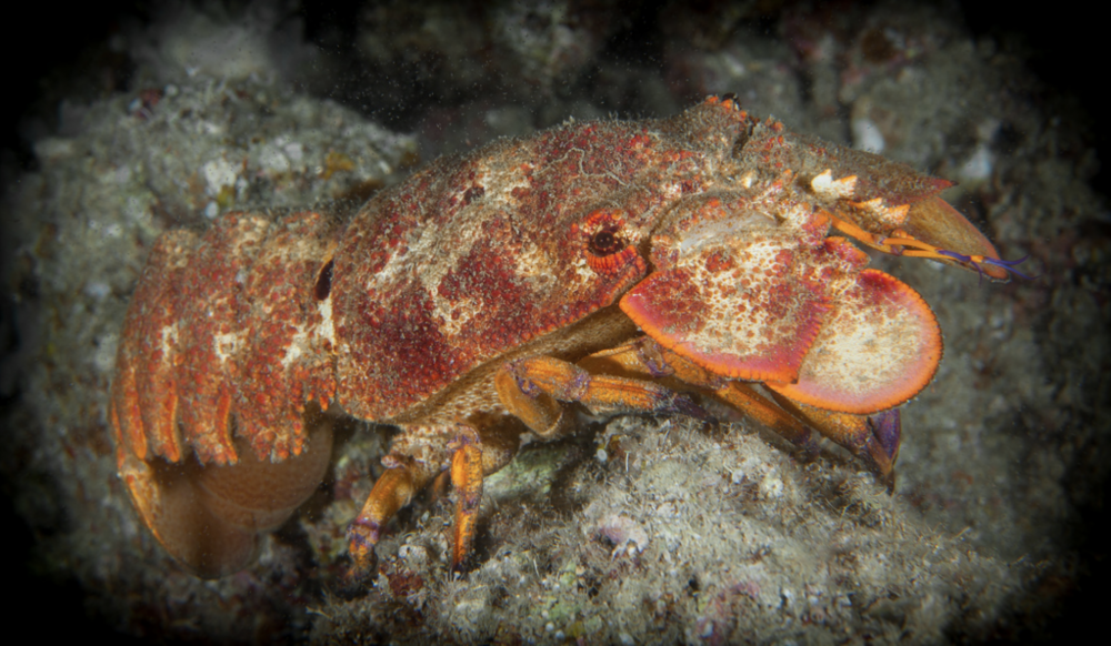 A slipper lobster