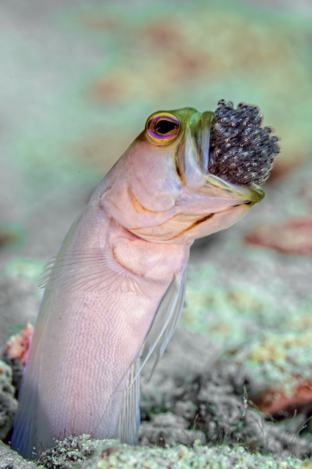A yellow-headed jawfish with brood