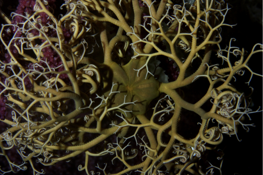 A basket star with many arms.