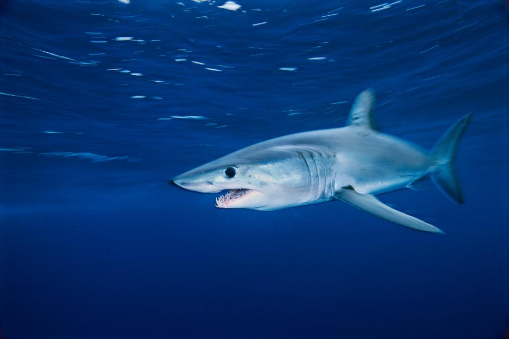 A shortfin mako glides through the waters off the coast of California.